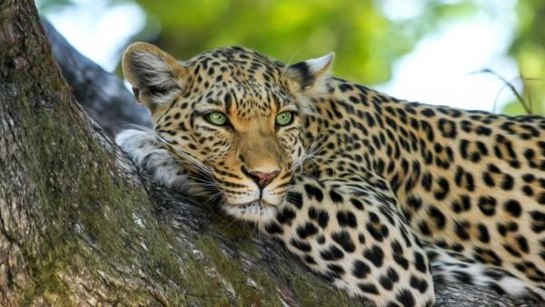 Леопард обои на рабочий стол
