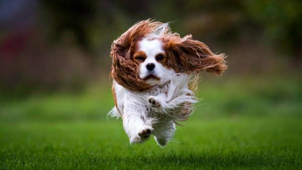 Спаниель собака бегает на траве HD обои