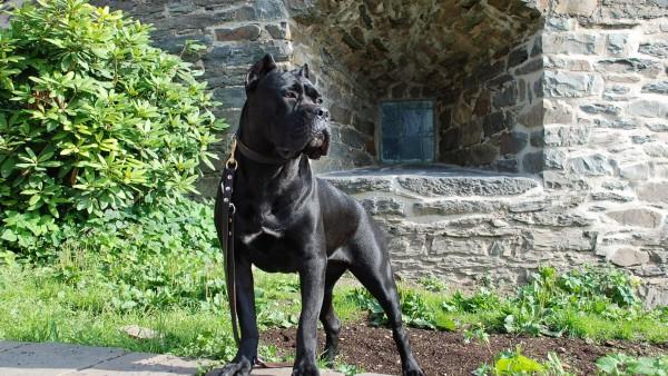 роскошный Кане-корсо собака обои hd