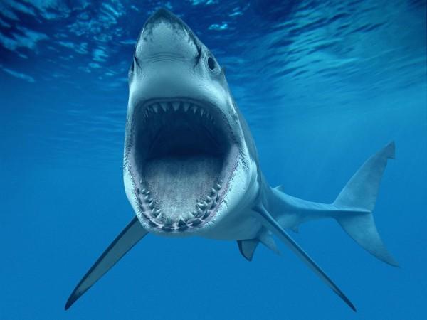 HD Акула, рыба, большие белые зубы, подводный мир, голубой океан, фон, обои
