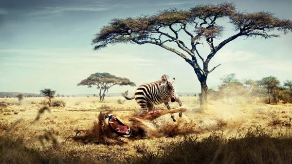 Голодный лев повален зеброй Чейз HD обои