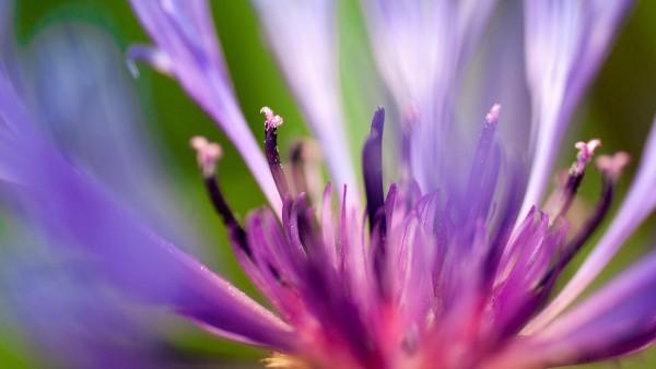 цветок фиолетового цвета макро обои hd