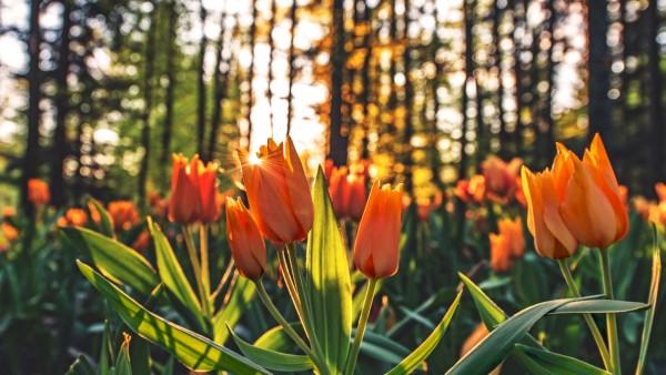 Оранжевые тюльпаны на рассвете на фоне леса обои