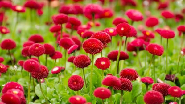 Красные цветы, лето, поле цветов, природа
