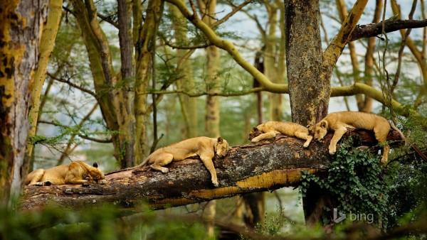 Sleeping lions, спящие львы, львы на дереве, шищники