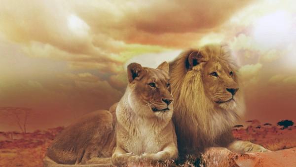 Семейная пара львов обои hd