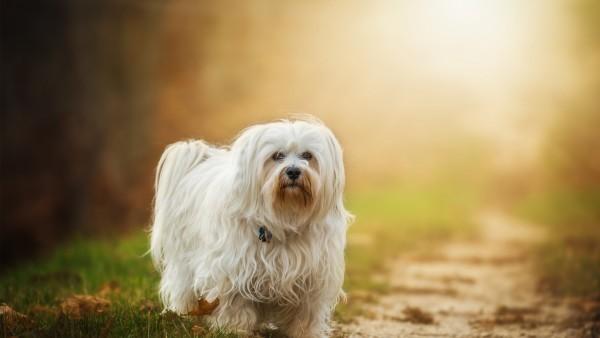 Гаванский бишон собака на рассвете красивые обои