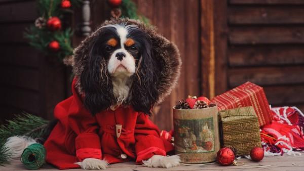 доска, пес, собака, пальто, коробки, подарки, праздник, новый год, рождество