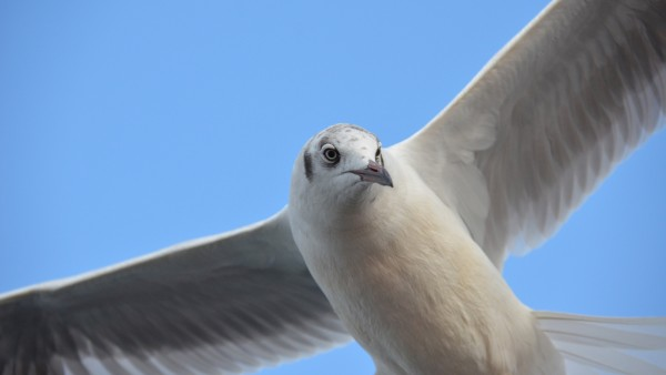 Windows 10, seagull, чайка, птица, виндовс, фон, обои, HD