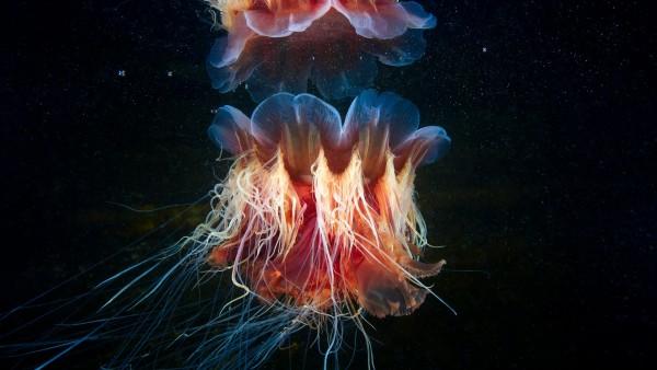Волосистая цианея медуза красивые обои hd подводного мира