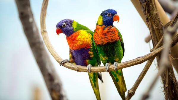Пара попугаев обои 4K