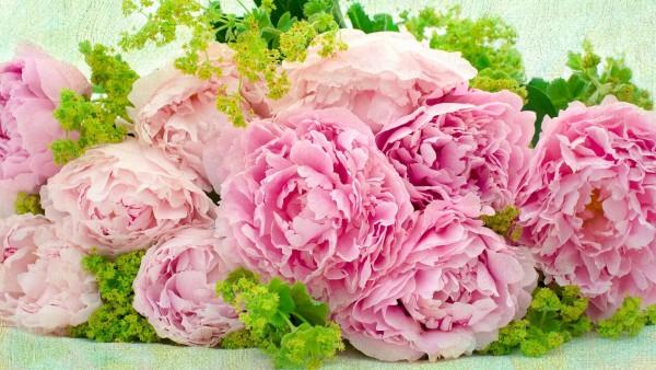 розовые пионы обои HD
