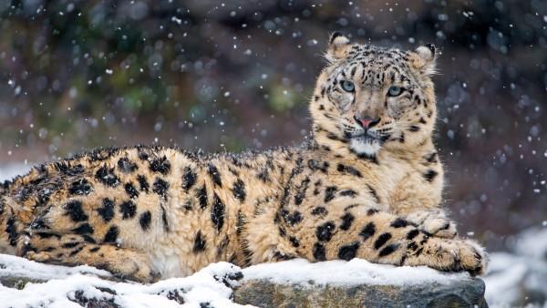 Снежный леопард обои HD на рабочий стол