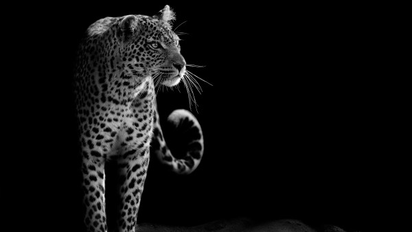 Леопард обои 4K