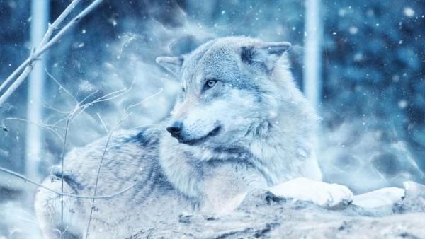 Зимний волк обои HD