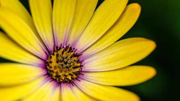 yellow flower, желтый цветок, лепестки, обои HD, цветок