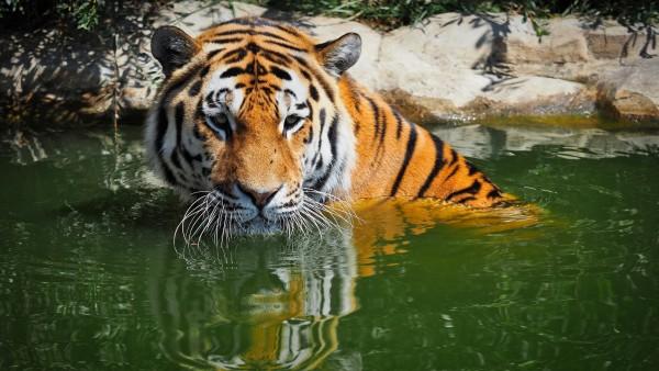 Бенгальский тигр обои HD
