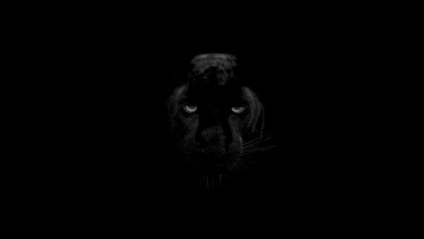 Чёрная Пантера животное обои 4K