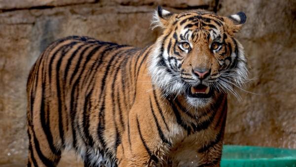 Суматранский тигр обои HD