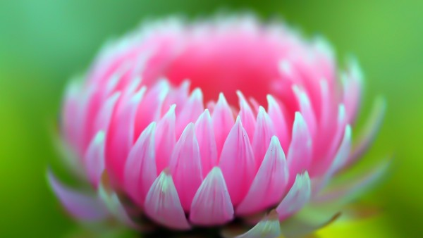 Розовая маленькая хризантема