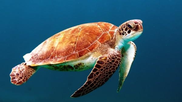 Фото черепахи под водой