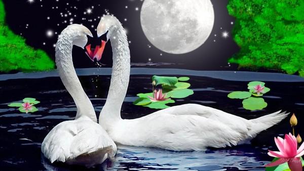 Обои белых лебедей под луной