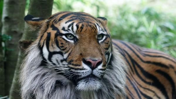 Хищный взгляд голодного тигра
