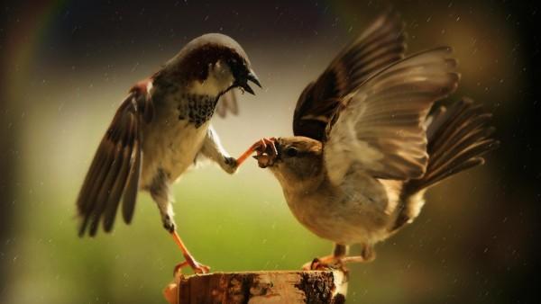 Смешные птицы воробьи