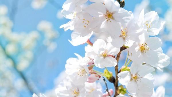 Цветущее дерево с белыми цветками
