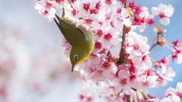 Яркая птичка на цветущем дереве вишни