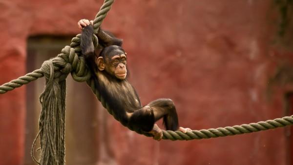 Картинки обезьянки на канате скачать бесплатно