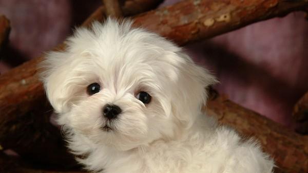 Маленькая собачка милый лохматый пупсик обои