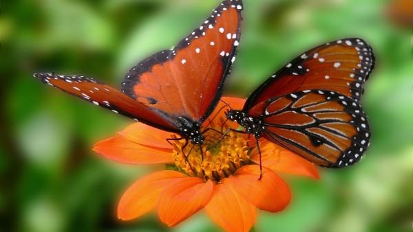 Цветок, бабочка, бабочки, насекомые, зелень, лето