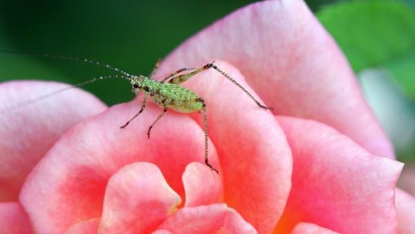 кузнечик на розе