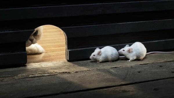 Прикольные обои мышей и кота