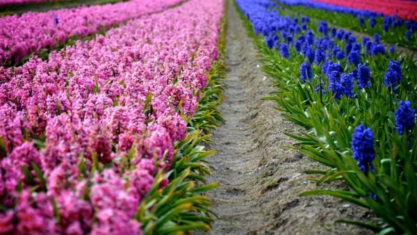 Плантация цветов гиацинты широкоформатные обои