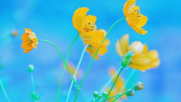 Желтые цветы на голубом фоне 1920x1200