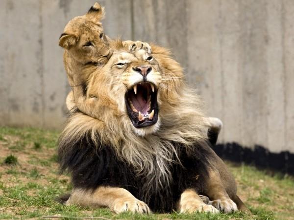 Лев играется с львенком