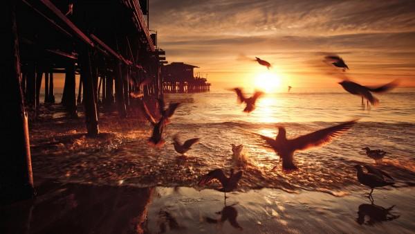 Санта-Моника морские птицы