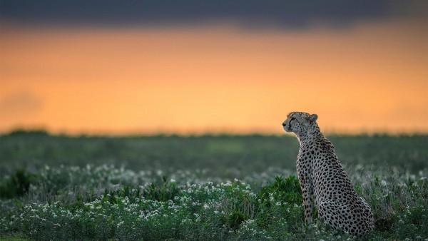 1920x1200,  гепард, хищник, дикая природа
