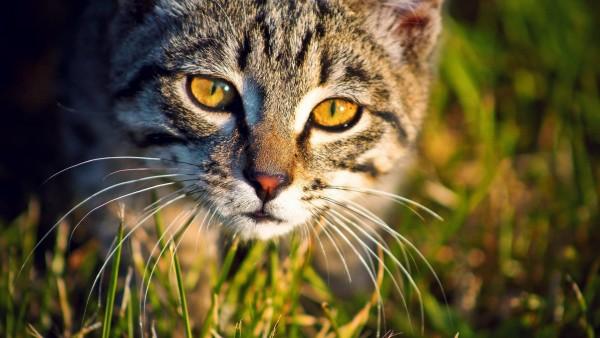 1920x1200, Красивый кот-охотник на закате