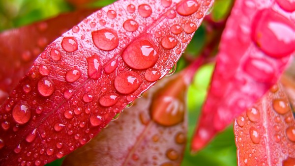 1920x1200, макро, цветок, капли, вода, листья