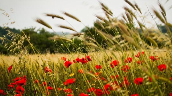 Поле с колосьями пшеницы и цветками мака широкоформатные обои