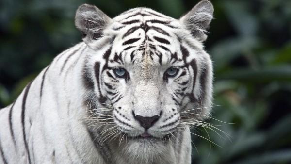 Белый тигр картинки на рабочий стол