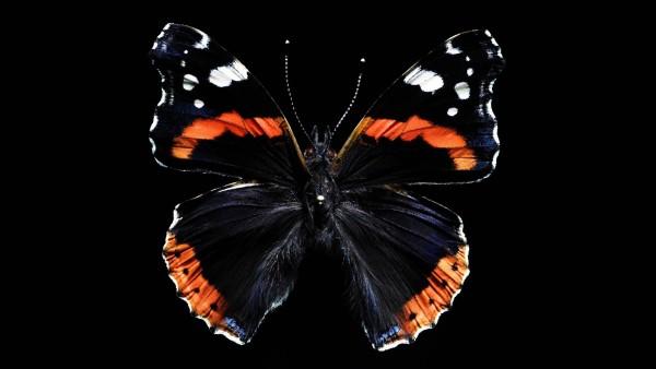 Красивая бабочка на черном фоне
