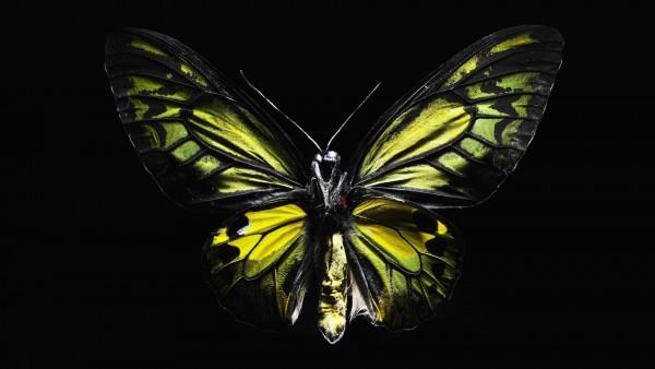 Бабочка на черном фоне