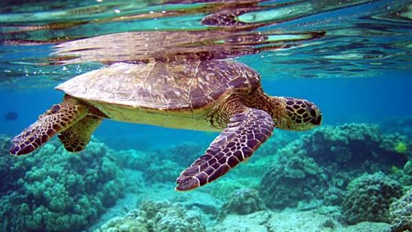 Морская черепаха обои