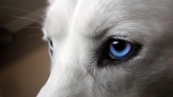 Белый волк с голубыми глазами