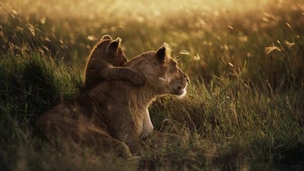 Картинки львов