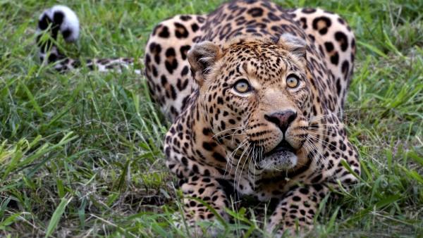 Картинки леопард
